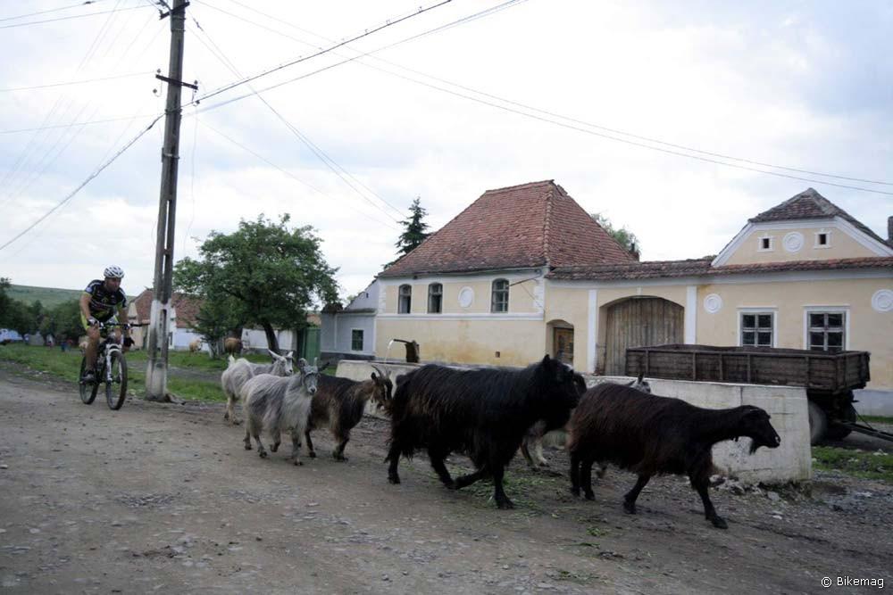 Tamás, a mobilizált kecskepásztor itatóhoz terel (foto: Dan Mazilu)
